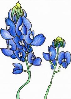 Blue Bonnets Colored Pencil